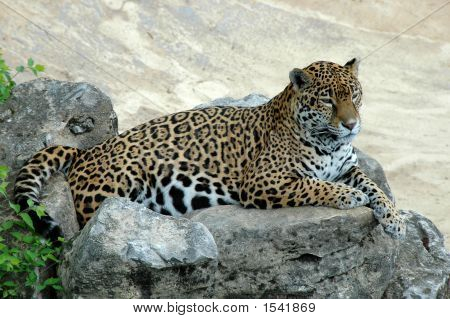 Jaguar lying on a rock and looking ahead poster