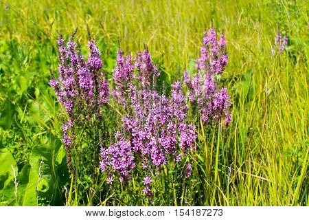 Purple Loosestrife (Lythrum Salicaria) on the meadow