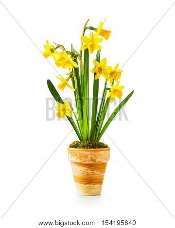 Spring flowers. Flowerpot with small yellow daffodils isolated on white background. Clipping path included
