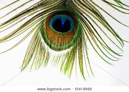 Peacock Feather Macro Isolated