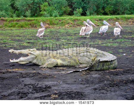 Basking Crocodile At Lake Chamo, Nech Sar National Park, Ethiopia