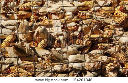 Several cobs of corn in a wire crib make the background