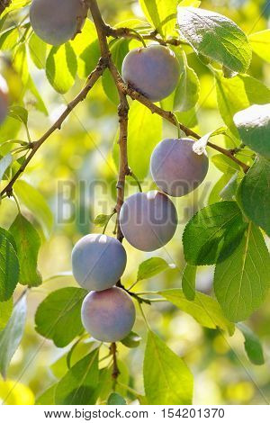 Branch of plum with berries. Fresh plums right before the harvest. Growing plums. View of fresh fruits with green leaves on plum tree branch in the fruit garden. Closeup of the plums ripe on branch. Ripe plums on a tree branch in the orchard