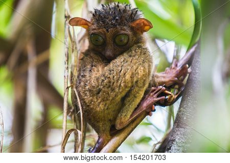 Wet tarsier on the tree after the rain