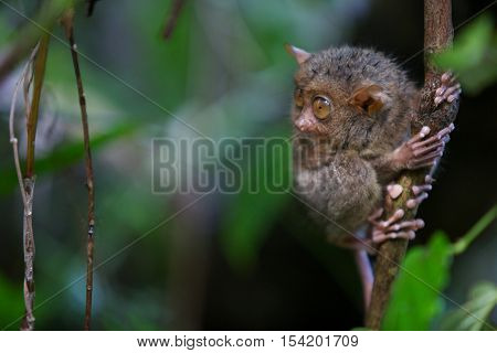 Tarsier on the tree on green background