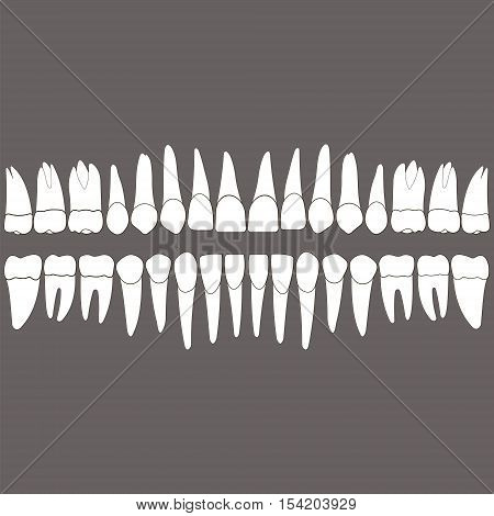 dentition white teeth and the roots on a gray background for the dental clinic dental crowns and roots done in vector and easily editable color and shape.