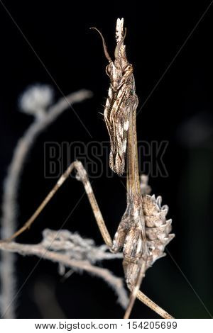 Empusa pennata insect mantiss close up. Black background.