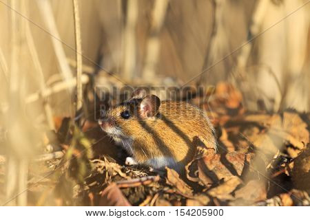 field mouse sits among dry grass and fallen leaves, animals, wildlife, rodents