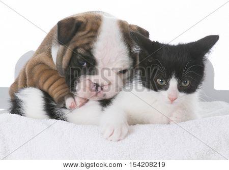 bulldog puppy and kitten hugging