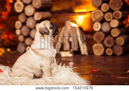 Playful Puppy Pug (4 Month) Sitting On The Furs At The Fireplace