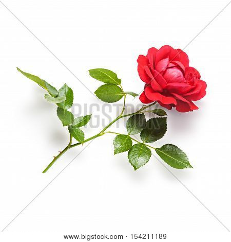 Red rose flower with stem and leaves. Climbing roses in summer garden. Single object isolated on white background. Clipping path