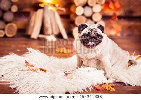 Pensive Sad Beige Pug Sitting On Furs