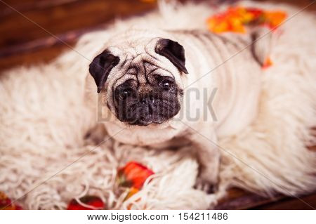 Wrinkled fat pug sitting on furs and looking up. Closeup.