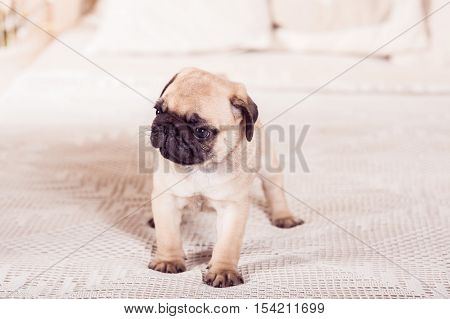 Little Beige Pug Puppy Standing On The Bed