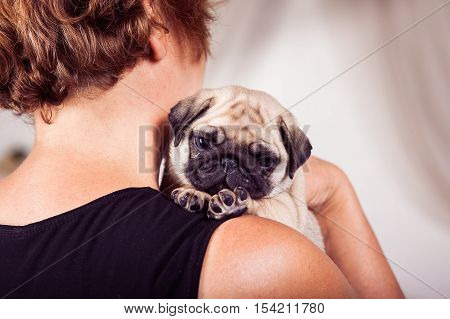 Small beige pug puppy sitting on the owners shoulder