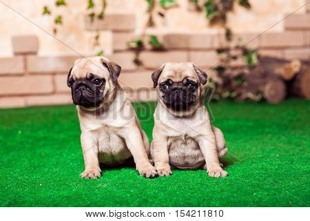 Little Beige Pug Puppies Sitting On The Green Grass Against The Background Of Bricken Wall. Selected