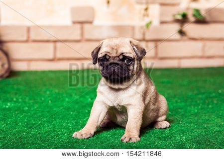 Little Beige Pug Puppies Sitting On The Green Grass Against The Background Of Bricken Wall