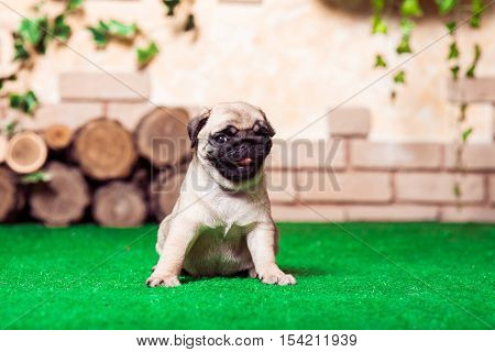 Little Beige Pug Puppy Sitting On The Green Grass Against The Background Of Bricken Wall