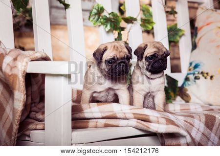 Little Beige Pug Puppies Sitting On The Bench, Entwined With Ivy.