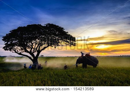 SURIN, THAILAND - CIRCA OCTOBER 2016: Thai farmers harvest to collect the mature rice crop from the field and use the elephand to carry rice back home on 29 OCTOBER 2016 in Surin, countryside of Thailand.