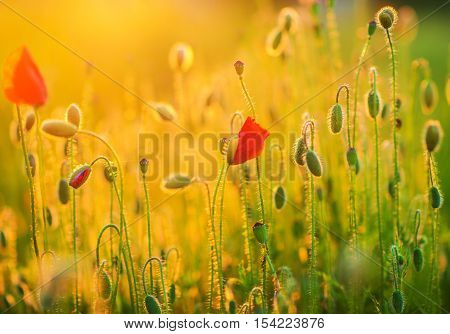 Flowering Spring Meadow Closeup. Flowering Poppies Nature Photo Background.