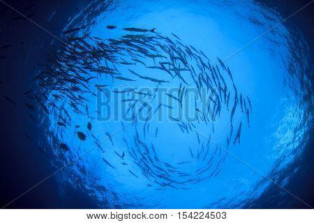 Barracuda fish school silhouette in ocean