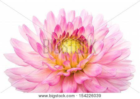 pink chrysanthemum flower on a white background
