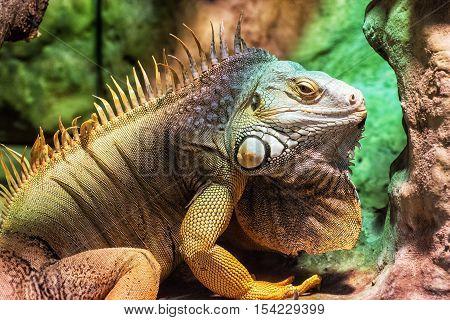 Close up portrait of Green iguana - Iguana iguana. Detailed animal portrait. Beauty in nature. Herbivorous species of lizard.