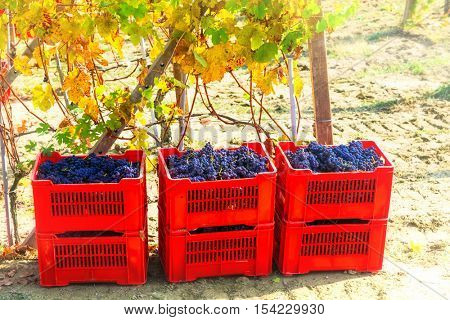 Autumn harvest - golden vineyards and grape in baskets. Tuscany,