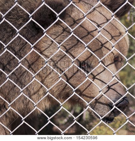 A Grizzly Bear's Face Just Inside the Fence of its Zoo Enclosure