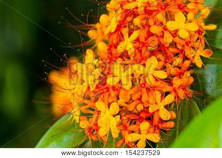 The colorful orange and yellow blooms of Saraca asoca (Saraca indica Linn Asoka; Saraca)
