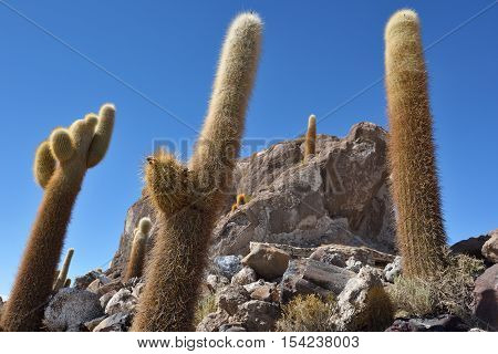 Cactus island in Uyuni Salt Flat. Salar de Uyuni world's largest salt flat Bolivia South America
