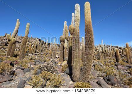 Cactus island in Uyuni Salt Flat Salar de Uyuni world's largest salt flat Bolivia
