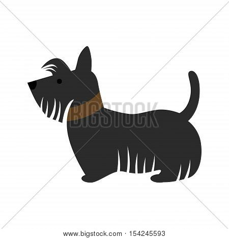 Isolated scotch terrier dog on white background. Funny black dog with collar.
