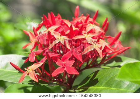 Many Small Grouped Red Flowers With Green Leaves And A Blurred Background Of Green Vegetation.