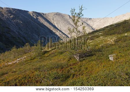 Birch trees in a mountain valley of Arctic. Flora of arctic tundra