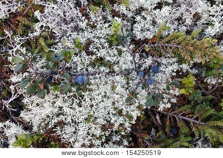 Blueberry bushes in the Arctic. Flora of arctic tundra
