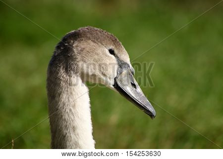 A mute swan cygnet in bright sunlight on a green background