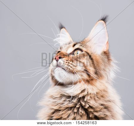 Portrait of domestic black tabby Maine Coon kitten - 5 months old. Close-up studio photo of funny striped kitty looking up. Beautiful young cat on grey background.