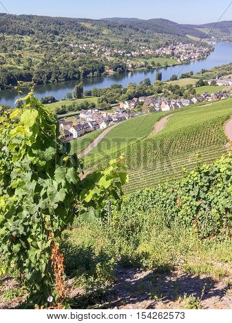 Vineyards in Graach an der Mosel in Germany.