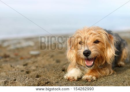 A terrier dog lying down and panting on a sandy beach