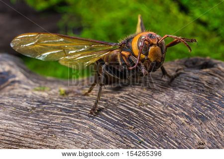 Orange Wasp, Insect