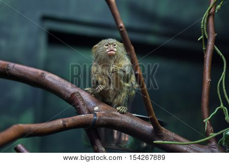 Pygmy marmoset (Cebuella pygmaea). Wildlife animal.