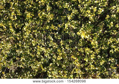 Betula nana background. Flora of arctic tundra
