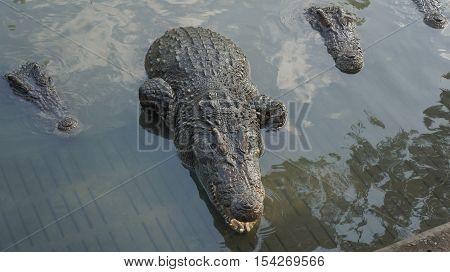 crocodile bite animal jaw teeth water group