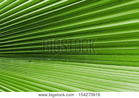 corrugated texture of a palm leaf of green color closeup or corrugated fan lines for an abstract background