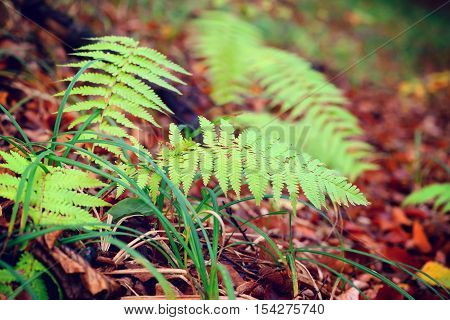 Fern Leaves (pteridium Aquiline) In The Autumn Forest