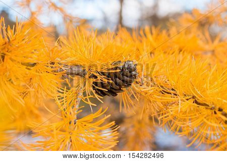 Bump On The Background Of Autumn Larch Selective Focus