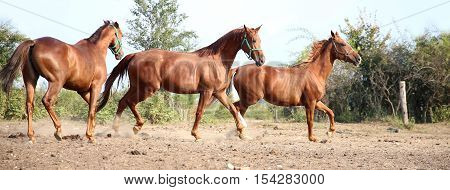 Purebred young hungarian gidran stallions canter in summer corral