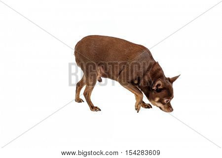 Small dog sniffs something isolated on white